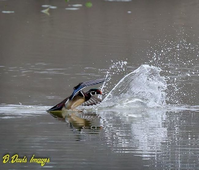 Mr. Woodduck coming in hot 😊 Waterfowl Ducksunlimited Woodduck Ig_discover_wildlife Splash Nature_seekers Outdooradventures Clevelandphotographer Naturephotography Wildlife_perfection All_mighty_birds Show_us_nature Beavermarsh Bestbirdshots Eye_spy_birds