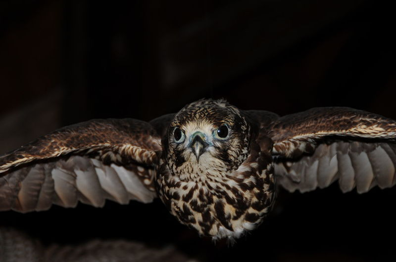 Close-Up Of Hawk In Darkness