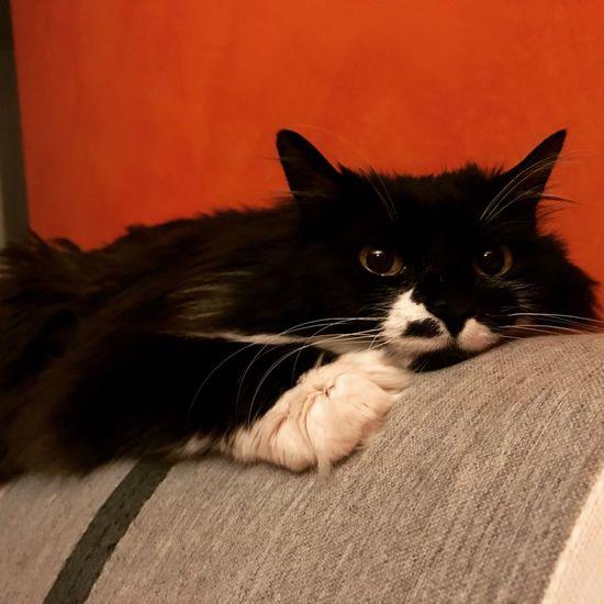 Torino Chieri Fa Umido Ciccia My Love Lovemycat♥ Loveislove Domestic Pets Domestic Animals Domestic Cat Cat Mammal Feline Indoors  Looking At Camera Portrait One Animal Relaxation