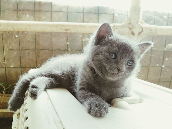 Domestic Cat Junior