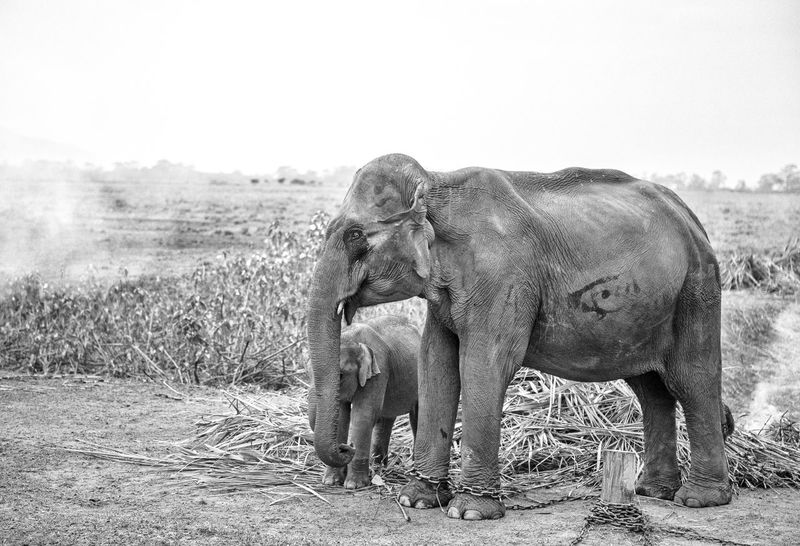 Chained Animal Abuse Animal Themes Animal Trunk Chained Elephant Elephant Calf Field Mammal Mother And Baby No People Togetherness Two Animals Young Animal