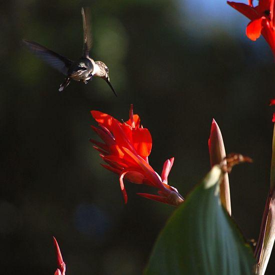 Nature Outdoors Hummingbird Flowers Flower Animals Plants Plant Bird Wildlife Depth Of Field