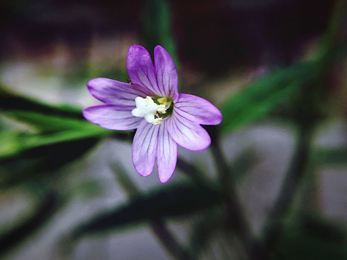 Flower Fragility Vulnerability  Flowering Plant Freshness Petal Beauty In Nature Plant Inflorescence Flower Head Close-up Growth Purple Pollen Focus On Foreground Nature No People Botany Outdoors