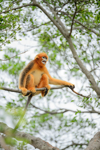golden monkey Animal Wildlife Branch Climbing Day Golden Monkey Low Angle View Mammal Monkey No People One Animal Outdoors Sitting Tree