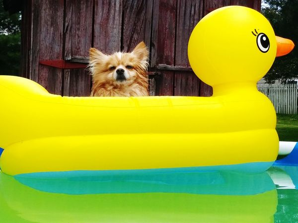 Pomeranians Pomeranianlove Swimming Dogslife Relaxing Check This Out Dogoftheday Doglovers