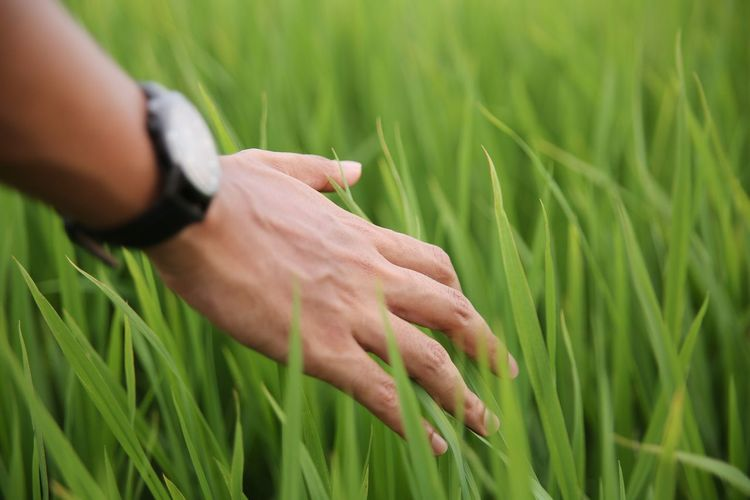 Growth Human Hand Green Color Lifestyles Real People One Person Nature Close-up Day Field Outdoors Agriculture Human Body Part Paddy Field Paddy Malaysia Malaysian Food Malaysia Truly Asia Happiness Calmness Calmness Within Touching