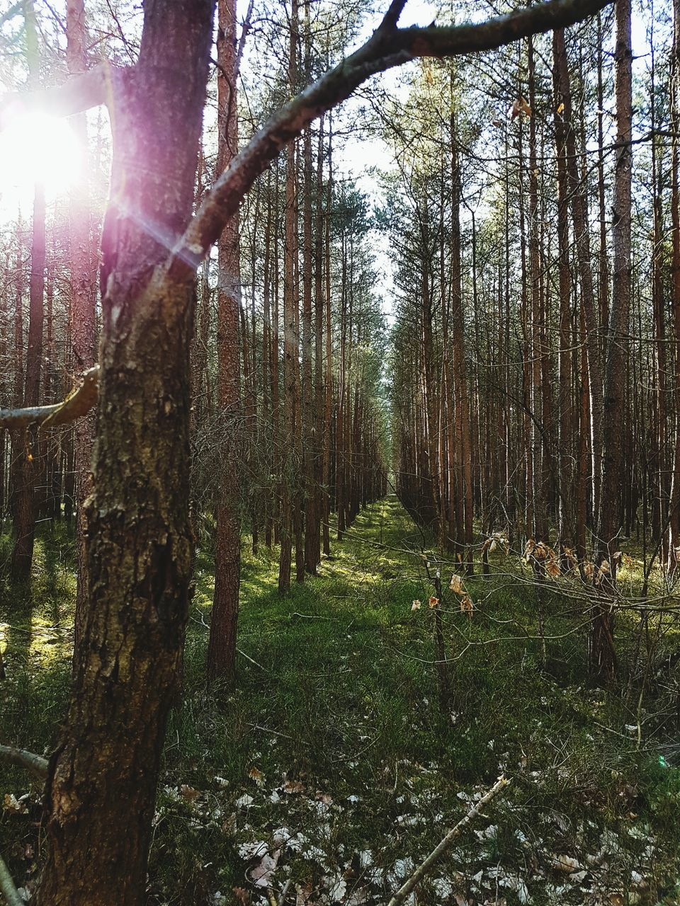 tree, tree trunk, forest, nature, growth, tranquility, sunlight, day, tranquil scene, sun, beauty in nature, outdoors, no people, scenics, grass, branch, sky