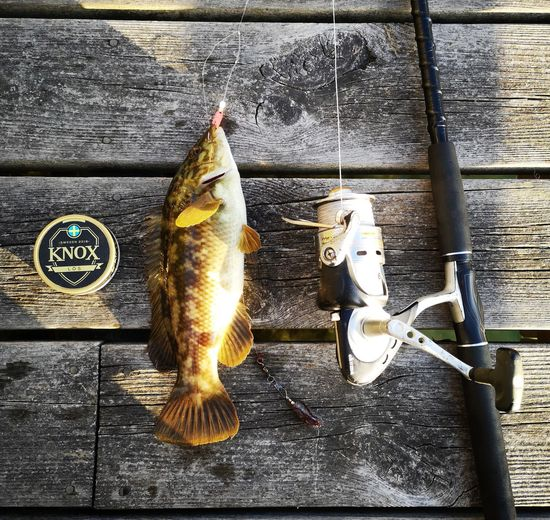 Strong fish Catch And Release Gylta Snuff (Tobacco) Spinning Reel No Edit/no Filter Huaweiphotography Leicacamera Channel Sweden Summertime Seafood Fish Fishing Close-up Fishing Hook Fishing Rod Fishing Equipment Fishing Tackle Hook Catch Of Fish Animal Fin