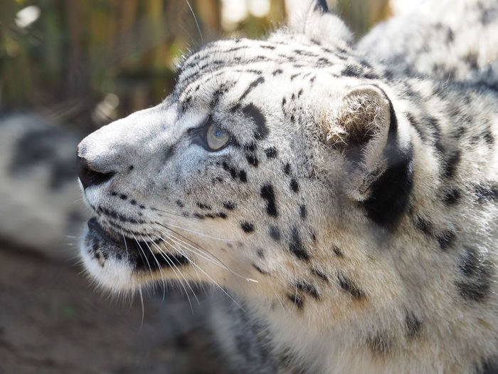 Close-up of snow leopard