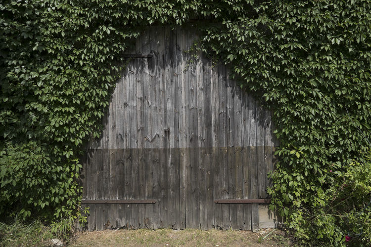 overgrown two-wing door at old wooden shed Architecture Building Building Exterior Built Structure Closed Day Door Entrance Green Color Growth Hedge Ivy Leaf Lush Greenery Nature No People Old Outdoors Overgrowing Plant Plant Part Red Flowers Vintage Wood - Material Wooden Door