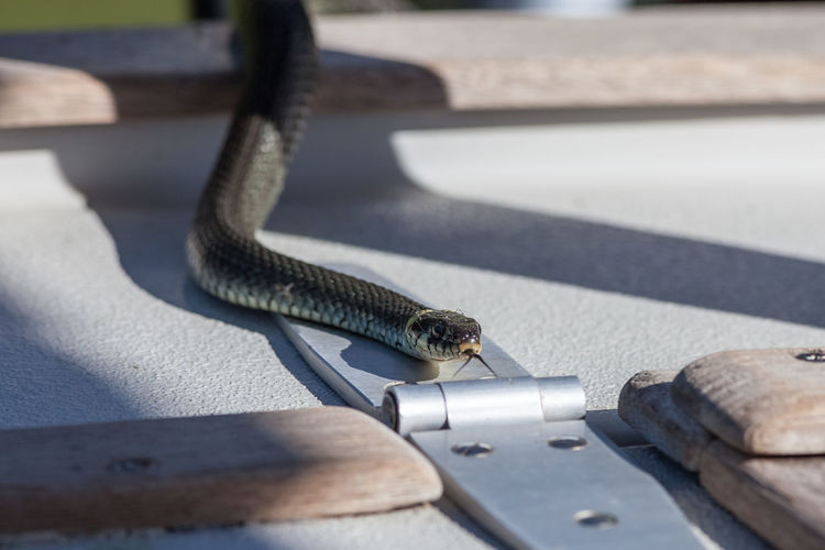 Close Up Of Grass Snake