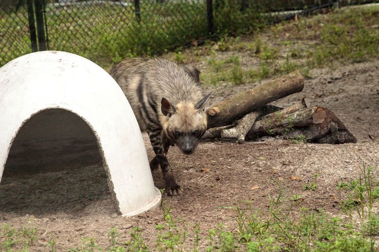 Striped hyena called Hyaena hyaena is often seen alone or in pairs. Hyaena Hyaena Hyena Striped Hyena Animal Animal Themes Animal Wildlife Animals In The Wild Day Mammal Nature No People One Animal Outdoors Wildlife
