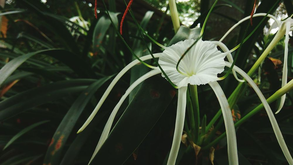 Expected species: Hymenocallis littoralis Nature Focus On Foreground Plant Growth Close-up Leaf No People Green Color Beauty In Nature Outdoors Fragility Day Blooming Flower Head Freshness Beauty In Nature Green Color Plants Flowers INDONESIA Universitas Padjadjaran