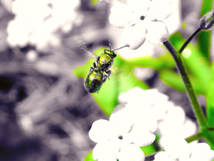 Teeny tiny green bee. About the size of my pinky nail in flight. Insect No People Outdoors Day Green Bee Flying