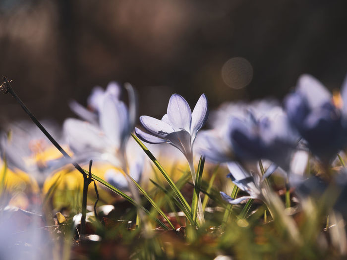 Flowering Plant Flower Plant Freshness Vulnerability  Beauty In Nature Fragility Growth Selective Focus Petal Close-up No People Land Nature Field Day Inflorescence Flower Head White Color Outdoors Purple Iris Crocus
