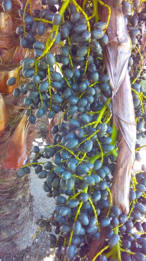The Palm Nut! Jamaican Plants - Plants Nature Is Awesome