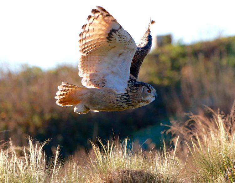 Eagle Owl  Bird Animal Wildlife Spread Wings One Animal Bird Of Prey Flying