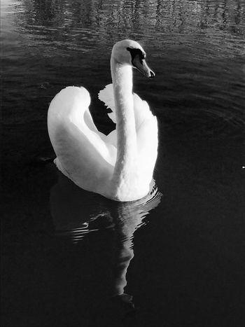 River Thames, Reading Swan Monochrome Wildlife Nature River Water Blackandwhite Reflection Thames Bird Wild Wildlifephotography Nature_collection