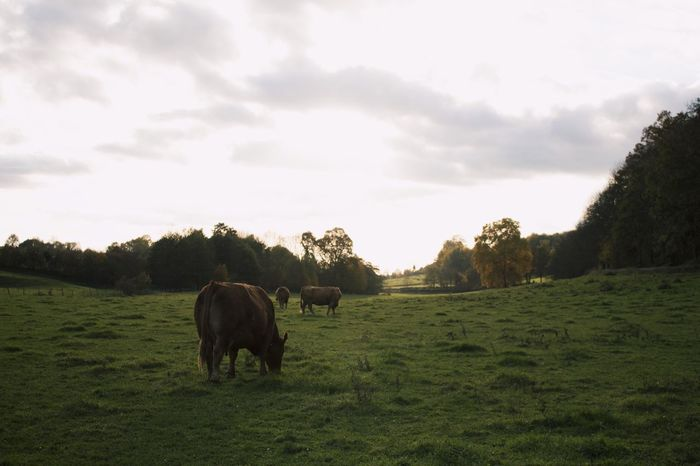 Cows Field View Green Nature Food Voerstreek
