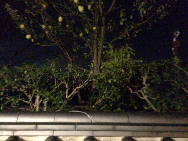 Kyoto Autumn Kyoto Night Kyoto, Japan Pseudocydonia Sinensis