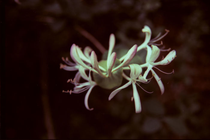 35mm Film Analogue Photography Film Close-up Crosprocess Cross Process Drakness Flower White