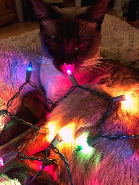 Merry Cat-mas 🎄 Colours Skippy Christmaslights Cats No People Siamese Cat Multi Colored first eyeem photo