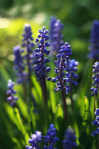 Muscari, commonly and collectively known as grape hyacinths, Beauty In Nature Blue Close-up Day Flower Flower Head Fragility Freshness Grape Hyacinths Green Color Growth Hyacinth Muscari Nature No People Outdoors Plant Purple