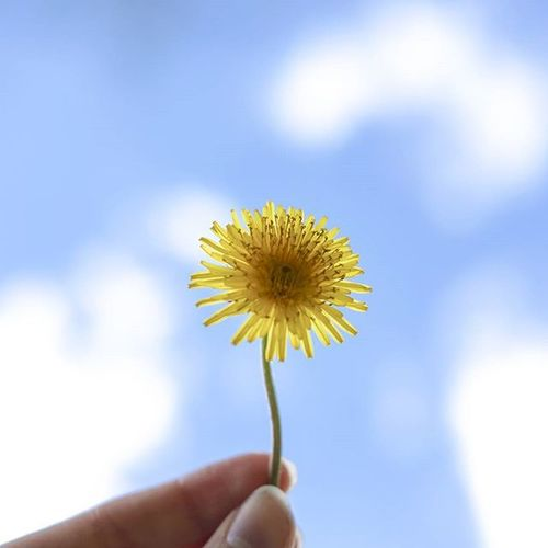 Close-up of cropped hand holding dandelion
