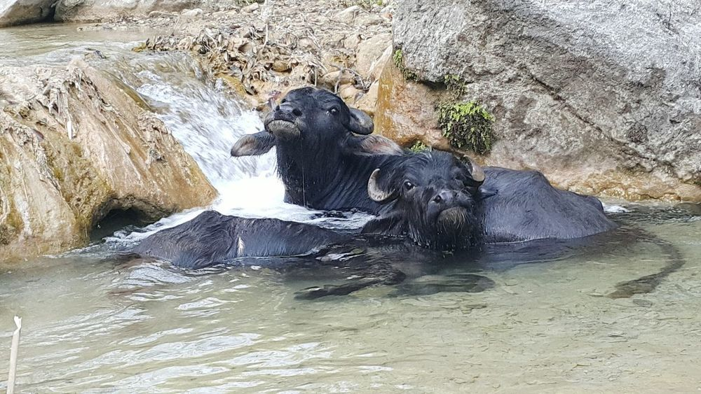 Animal Themes Animals In The Wild Water Mammal Outdoors Animal Wildlife Nature No People Day One Animal Swimming Close-up Aquatic Mammal Domestic Animals Nature Water Buffalo Swimmingpool Happy Anímals Hot Day Husbandry Hot Weather Agriculture River Animals In The Wild Organic Farming