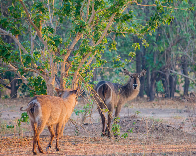 Waterbucks standing on field in forest