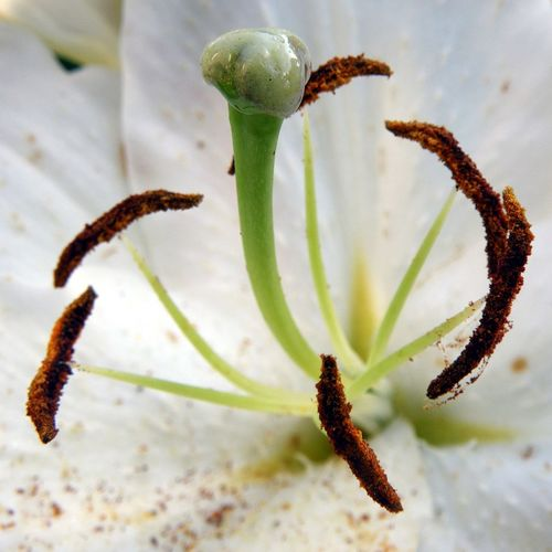 Arome Beauty In Nature Blossom Close-up Macro Nature No People Pestle Plant Pollen Selective Focus Stamen