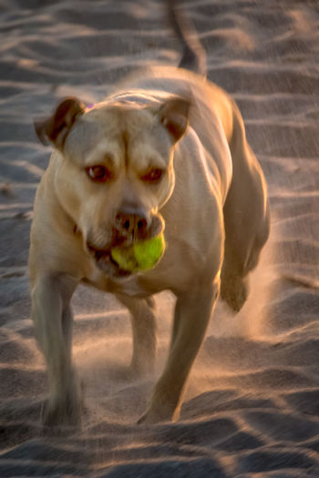 "This is ""my time""! Beach Beach Life Beach Photography Beachphotography Dog Dogs Dogs On Beach Fetch Playful Playful Dog Ventura"