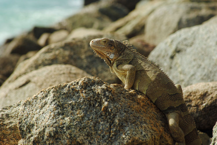 Lizard on the rocks Aruba Oranjestad Iguana Reptile Beach Sea Rock - Object Lizard Close-up Shore Claw Coastline Sunbathing Rocky Coastline Animal Scale
