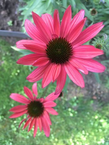 In the garden Waiting For Summer Garden Echinacea Tomato Red Flowering Plant Flower Plant Petal Freshness Fragility Vulnerability  Growth