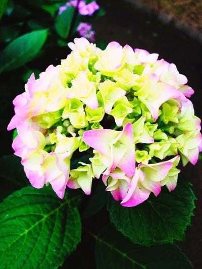 紫陽花 Flower 花 Photo Love Japan