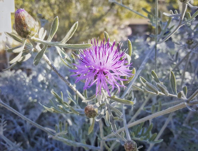 Bush Centaurea Gymnocarpa Velvet Centaurea Flower Flower Head Grey Foliage Purple Thistle Like Flower