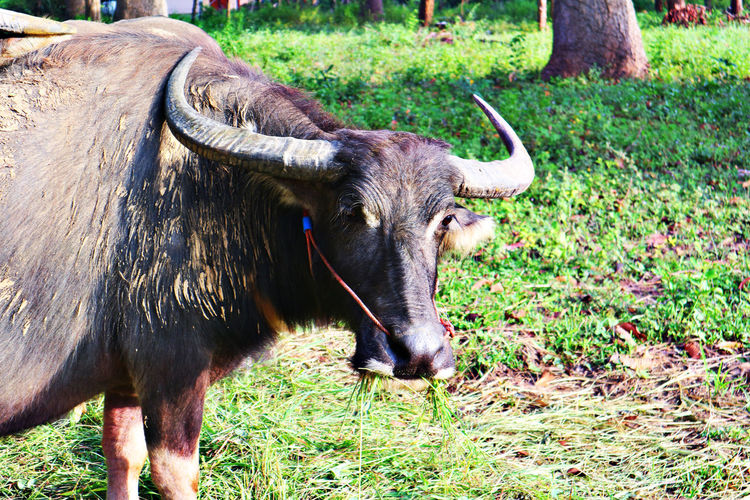 Carabao Water Buffalo Animal Themes Antler Buffolo Close-up Domestic Animals Field Grass Horn Horned Idiot Mammal Mire Nature One Animal Outdoors