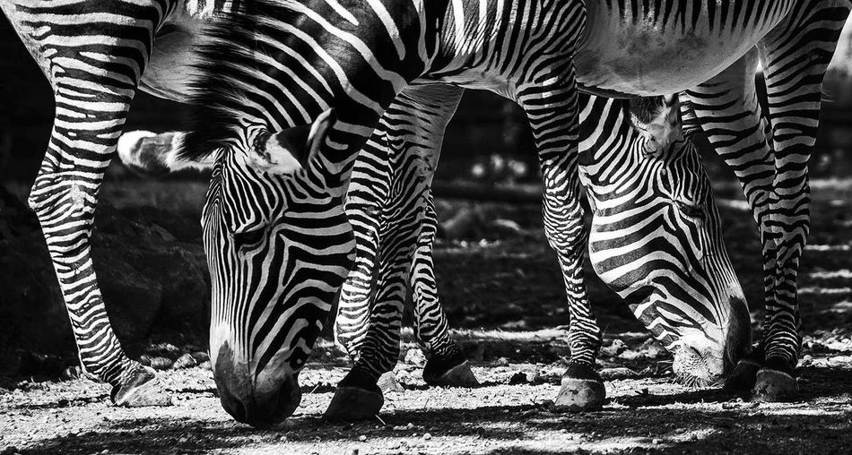 Low section of zebra