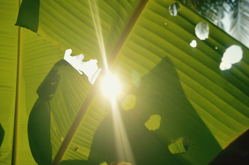 Leaf Sunbeam Green Color Sunlight Banana Leaf Lens Flare Nature