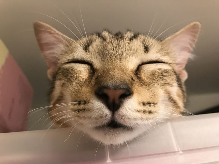 Cat Pets Domestic Feline Domestic Cat Mammal Domestic Animals One Animal Animal Themes Animal Close-up Whisker Vertebrate Indoors  No People Animal Body Part Animal Head  Relaxation Eyes Closed  Focus On Foreground Snout Animal Mouth Tabby Animal Nose