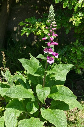 Nature Blooming Nature Walk Sand-le-Mere Foxglove Outdoors Flower Head No People Flower Beauty In Nature Plant Beauty In Nature