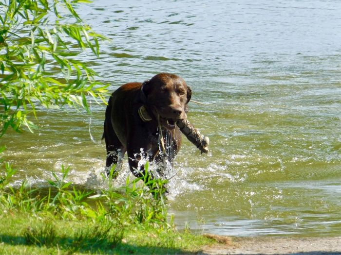 Dog day living the water learning to Duck hunt 46624