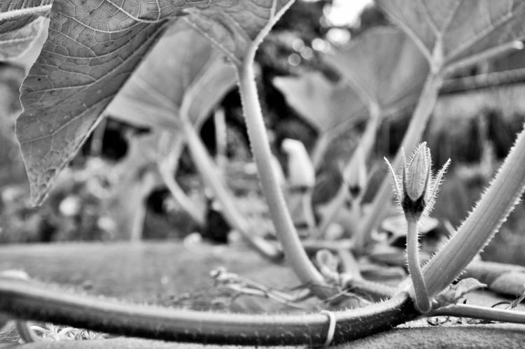 Animal Themes Close-up Day Flower Head Growth Leaf Nature No People Outdoors Plant Pumpkin Flower Pumpkin Leaves Black And White Friday EyeEmNewHere