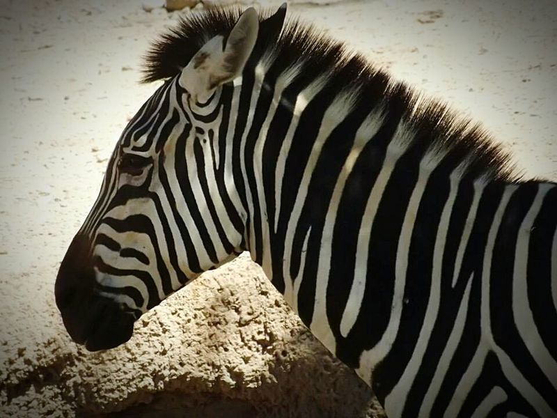Animal_collection Beautiful Animal Zebra The Zoo Beautiful Animals  Zebra. Zebra♥ Zebra <3 Zebras Zebra Animal Portrait
