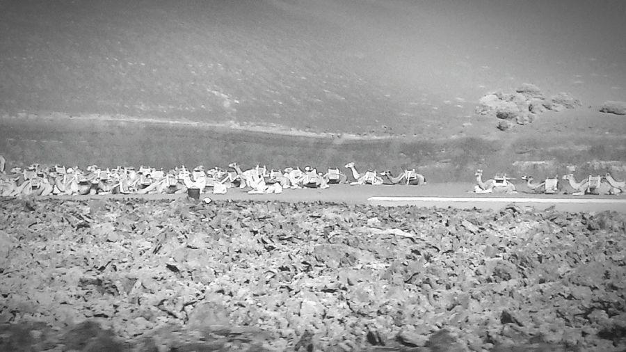 South Vacaciones🌴 Lanzarote Lanzarote Island Canary Islands Islas Canarias Timanfaya Camel Camello