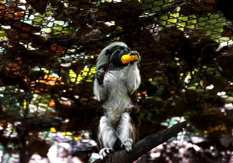 Cute monkey eating Monkeys Eating Eat Exotic Exotic Pets Zoo Zoo Animals  Zoology Zoophotography Animal Themes Animals In The Wild Animal Wildlife Animal Monkey EyeEm Selects Tree Branch Iguana Close-up Animal Body Part