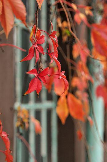 jesiennie Tree Autumn Leaf Red Close-up Plant
