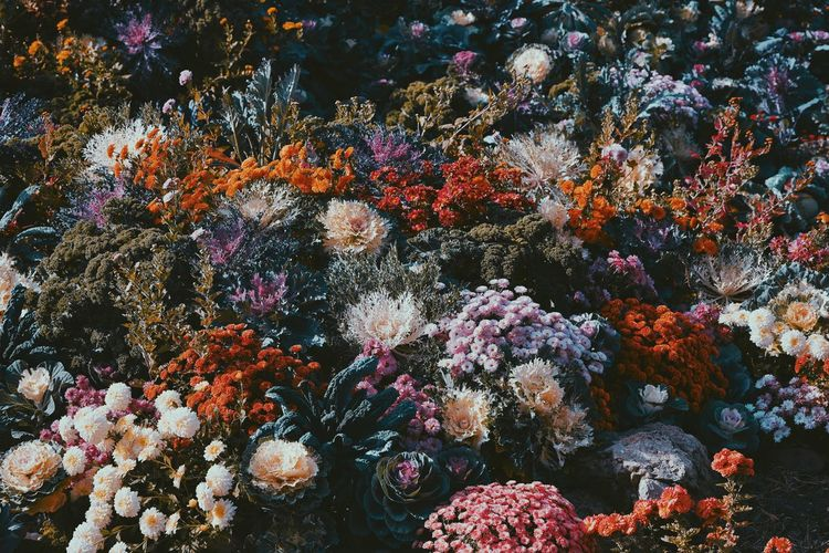 Backgrounds Pattern Chrysanthemum No People Flower Multi Colored Full Frame Close-up Blooming In Bloom Growing Plant Life Dahlia Botany Fragility The Week On EyeEm Editor's Picks