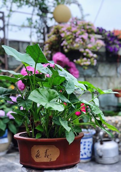Plant Potted Plant Growth Nature Green Color Flower Plant Part Flowering Plant Beauty In Nature Flower Pot Freshness Close-up No People Focus On Foreground Leaf Day Outdoors Fragility Botany Vulnerability