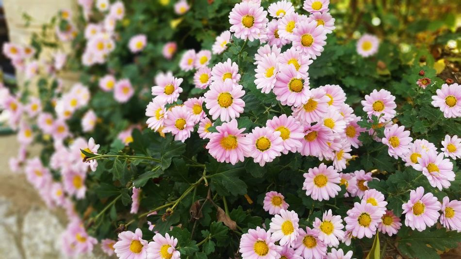 Aster Autumn Beauty In Nature Blooming Close-up Day Flower Flower Head Flowers Fragility Freshness Green Color Growth Nature Nature No People Outdoors Park Petal Pink Plant Plant Sidewalk